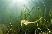 Long-snouted seahorse (Hippocampus guttulatus) swimming above a eelgrass in the pond of Thau, Bouzigues, Hérault, France