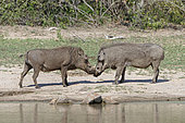 Warthog (Phacochoerus aethiopicus), Encounter of two males,Kruger NP, South Africa