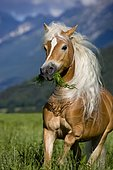 Haflinger mare, blonde sorrel, galloping with grass in its mouth, Austria, Europe