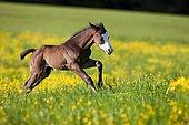 Paint Horse, bay horse, foal gallops through flower meadow