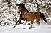 PRE brown horse galloping through the snow in winter, Austria, Europe