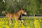 Purebred Arabian foal galloping in a flower meadow, North Tyrol, Austria, Europe
