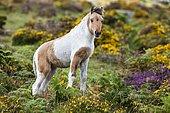 Dartmoor Hill Highland Pony, brown white pied, foals, blooming heather, moorland, Dartmoor National Park, Devon, United Kingdom, Europe