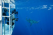Scuba diver photographing from a cage Great white shark, Carcharodon carcharias, vulnerable (IUCN), Guadalupe Island, Mexico, Pacific Ocean