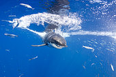 Great white shark, Carcharodon carcharias, vulnerable (IUCN), Guadalupe Island, Mexico, Pacific Ocean