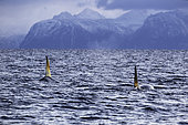 Killer whale, Orcinus orca, swimming on the surface Andenes, Andøya island, North Atlantic Ocean, Norway.