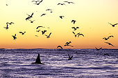 Adult killer whale, Orcinus orca, surfacing at dusk surrounded by birds. The birds look for the rest of the herrings left by the killer whales, Andenes, Andøya island, North Atlantic Ocean, Norway.