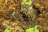 Couple of Amphipods (Pallasea cancellus), Lake Baikal, Siberia, Russia