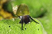 Freshwater snail (Benedictia baicalensis) Lake Baikal, Siberia, Russia