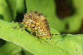 Amphipods (Pallasea cancellus) on Demosponge (Lubomirskia baicalensis), both are endemic to Lake Baikal, Siberia, Russia