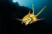 Gammare du Baïkal (Acanthogammarus victorii) nageant, Lac Baïkal, Sibérie, Russie