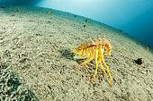 Gammare du Baïkal (Acanthogammarus victorii), Lac Baïkal, Sibérie, Russie