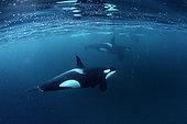 Killer whales, Orcinus orca, hunting for herrings Andenes, Andøya island, North Atlantic Ocean, Norway.