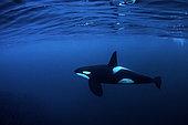 Killer whale, Orcinus orca, hunting for herrings Andenes, Andøya island, North Atlantic Ocean, Norway.