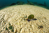Freshwater snail (Benedictia baicalensis) on top of each other, Lake Baikal, Siberia, Russia