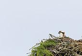 Osprey (Pandion haliaetus) adult observing et nest, Highland, Scotland