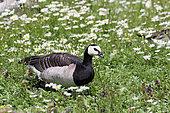 Barnacle Goose (Branta leucopsis) in daysies, Netherlands