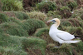 Gannet (Sula bassana) gathering grass and feathers to build its nest, Scotland