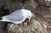 Kittiwake (Rissa tridactyla) discovering her eggs, Scotland