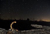 Yellow scorpion (Buthus occitanus) in search of food under the stars