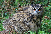 Eagle Owl (Bubo bubo) in the grass, France