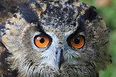 Portrait of Eagle Owl (Bubo bubo), France