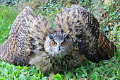 Eagle Owl (Bubo bubo) threatening in the grass, France