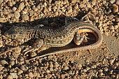 Spiny-footed lizard (Acanthodactylus erythrurus), Spain