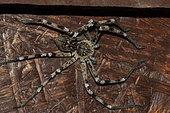 Huntsman spider (Eusparassus dufouri), Extremadura, Spain