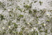 Fallen seeds in fluffy tufts of cotton from white poplar trees (Populus alba) and Daisy (Bellis perennis) flowers. Huelva province, Andalusia, Spain.