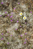 Fallen seeds in fluffy tufts of cotton from white poplar trees (Populus alba), two Daisy (Bellis perennis) and flowers of Red Sand-Spurrey (Spergularia rubra). Huelva province, Andalusia, Spain.