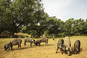 Grazing pigs and holm oaks (Quercus ilex) in the Sierra de Aracena, which is part of the vast Sierra Morena. Huelva province, Andalusia, Spain.