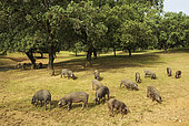 Grazing pigs and holm oaks (Qu Huelva province, Andalusia, Spain.