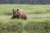 Grizzly (Ursus arctos horribilis) feeding on Lingby's Sedge, Khutzeymateen Grizzly Bear Sanctuary, British Columbia, Canada
