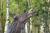 European Moose feeding, Alces alces, Germany, Europe