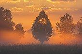 Trees in morning mist at sunrise, Moerfelden-Walldorf, Hesse, Germany, Europe