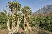 Desert Rose (Adenium obesum), Coastal Plain of Tihama, Saudi Arabia