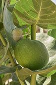 Appple of Sodom (Calotropis procera) Fruit, Nadj plateau, Saudi Arabia