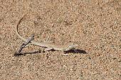 Snake-tailed fringed-toad lizard (Acanthodactylus opheodurus), Saudi Arabia