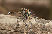 Highwayman (Apoclea femoralis) eating, Assir mountains, Saudi Arabia