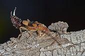 Earwig (Labiduridae sp), Saudi Arabia