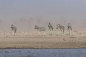 Burchell's zebra (Equus burchellii), zebras in sand's storm , Namibia ,Etosha national Park