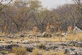 Back-faced impala (Aepyceros melampus petersi), Namibia, Etosha national Park