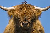 Highland cow, Highlands, Scotland