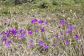Wedgeleaf Primrose (Primula cuneifolia), Magadan Oblast, Siberia, Russia