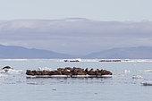 Pacific Walrus (Odobenus rosmarus divergens) on ice, krasin bay, Wrangel Island, Chukotka, Russia