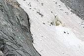 Ours polaire (Ursus maritimus) sur la neige, ile Wrangel, Tchoukotka, Russie