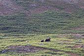 Kamchatka brown Bear (Ursus arctos beringianus) and young, Bukhta Yuzhnaya Glubokaya, Kamtchatka, Russia