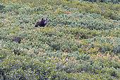 Kamchatka brown Bear (Ursus arctos beringianus), Bukhta Yuzhnaya Glubokaya, Kamtchatka, Russia