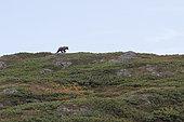 Kamchatka brown Bear (Ursus arctos beringianus), Laguna Tintikun, Kamtchatka, Russia